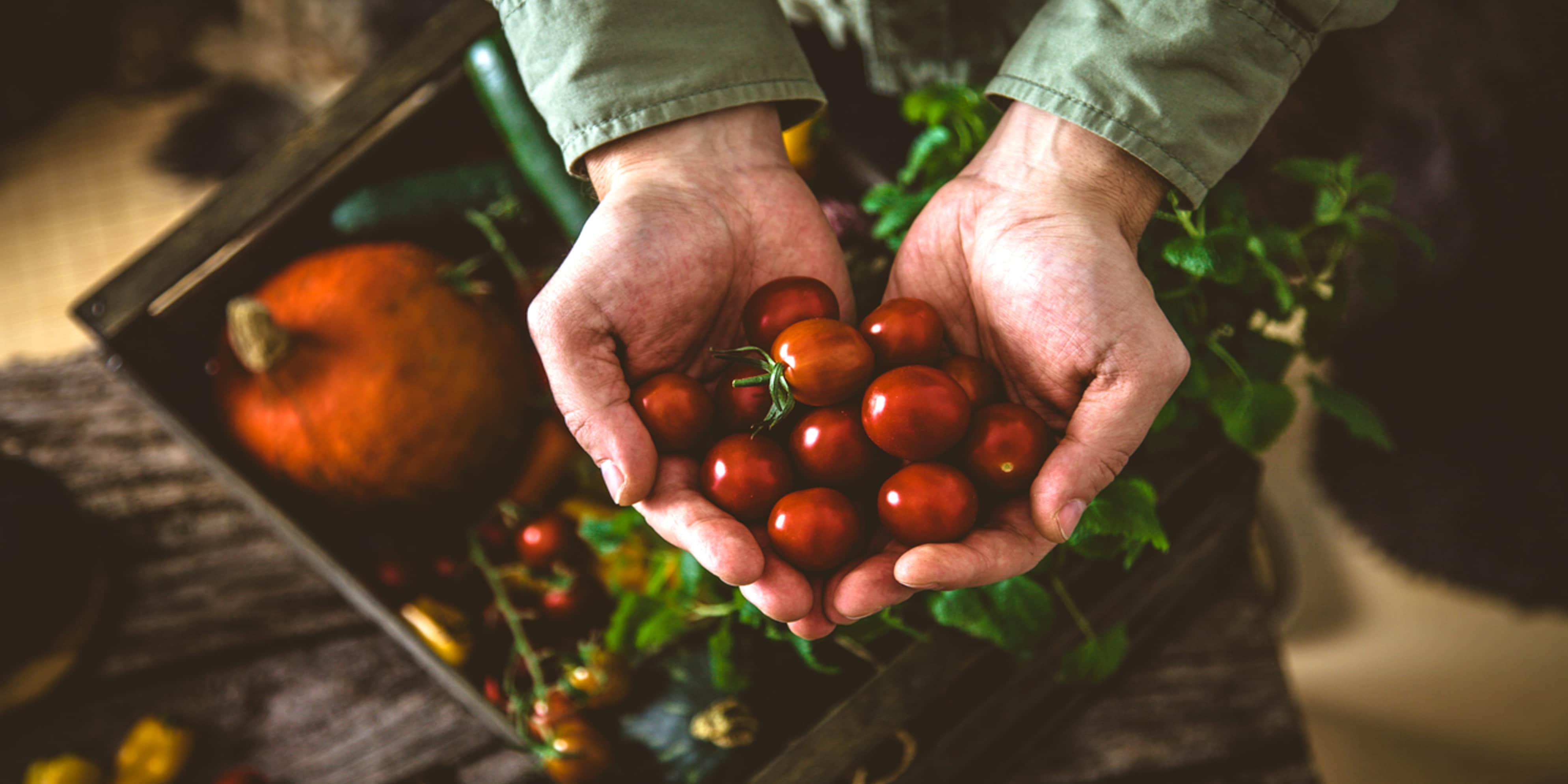 Voorraad Tomaten In De Kas Automatisch Tellen
